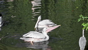 Two pelicans and gray heron catch fish in lake stock video footage