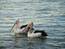 Two pelicans at Illawarra lake Royalty Free Stock Photos