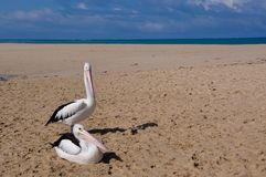 Two Pelicans: Indian Ocean Sandbar in Western Australia stock images