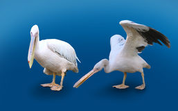 Two Pelicans Isolated On Blue Background. Two Pelicans, water birds, isolated on blue background, one with spread wings, another standing stock photo