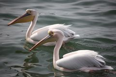 Two pelicans on lake Royalty Free Stock Photo