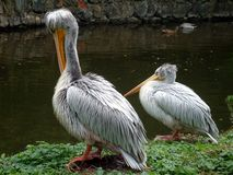 Two pelicans by lake. Two pelican birds resting with lake in background stock photos