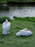 Two pelicans on the lakeside stock photography
