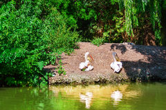 Two pelicans. Latin name - Pelicanus onocrotalus. Royalty Free Stock Images