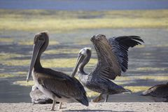 Two Pelicans on Malibu lagoon Stock Images