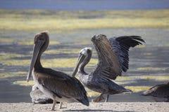 Two Pelicans on Malibu lagoon. MALIBU, USA - AUG 16 2013: Two Pelicans on Malibu lagoon Stock Images