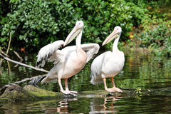 Two pelicans near the water. Two pelicans looking the same direction stock image
