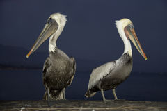 Two Pelicans at night. Two Pelicans against night ocean background stock images