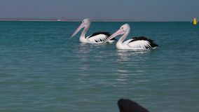 Two pelicans on the ocean. A medium shot of two pelicans on the ocean with boats on the background. Camera tracks the movement of the pelicans stock footage