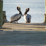 Two Pelicans On A Pier Stock Photography