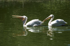 Two pelicans one after another Royalty Free Stock Images