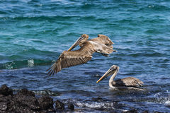 Two Pelicans, one flying, one floating Royalty Free Stock Photos