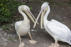 Two pelicans with open beaks stand on the ground. Zoo.  stock images