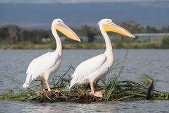 Two pelicans perched one behind the other Stock Photo