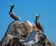 Two Pelicans perched on rock in Cabo San Lucas harbor near Los Arcos (Lands End) in Baja Mexico Stock Image