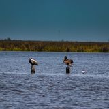 Two pelicans on posts. Two pelicans resting on posts royalty free stock photo