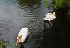 Two pelicans quarrel and swim to opposing directions royalty free stock photo