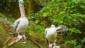 Two pelicans resting stock footage