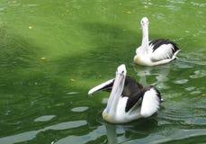 Two Pelicans Stock Photos