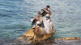 Two pelicans. Two pelicans sit on a rock in the sea stock photos
