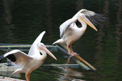 Two pelicans spreading its wings. On the lake Royalty Free Stock Images