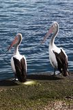 Two pelicans looking to the left. Two pelicans standing next to each other looking to the left stock image