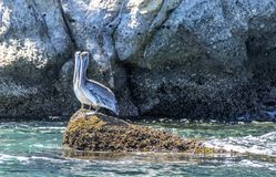 Two pelicans standing on ocean reef royalty free stock photography