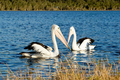 Two Pelicans swimming on lake Stock Image