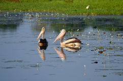 Two Pelicans Swimming Next To Each Other In The Yellow River Kakadu National Park Australia Stock Photography