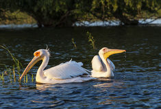 Two pelicans swimming in the water at sunset Stock Images