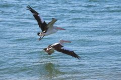 Two pelicans take off Stock Photography