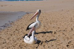 Two Pelicans in Unison stock photo