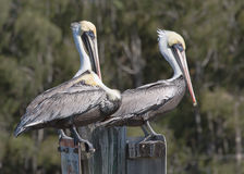 Two Pelicans On Watch and One Trying to Sleep Royalty Free Stock Images