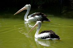 Two pelicans on water. Two Australian Pelicans Swimming On A Green Water Stock Photography