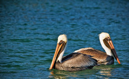 Two pelicans in the water. Facing opposite directions Stock Photos
