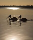 Two pelicans Royalty Free Stock Image