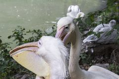 Two pelikan heads with long beaks on the shore of the pond in the zoo. Close-up.  stock photography