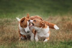 Two pembroke welsh corgi puppies running Stock Photos
