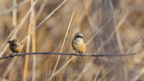 Two Penduline Tits on  Reed Royalty Free Stock Photography