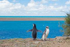 Two penguin Royalty Free Stock Image