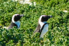 Two penguin in Boulder Beach. South Africa Stock Photo