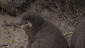 Two penguin nestlings near mother. View of two penguin nestlings near mother stock video