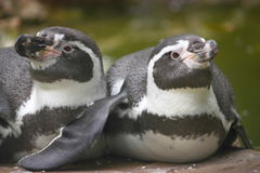 Two penguins Royalty Free Stock Image