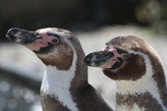 Two penguins. At close up Stock Photo