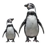 Two penguins. Isolated object on white background Royalty Free Stock Photo
