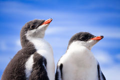 Two penguins in Antarctica Stock Photos