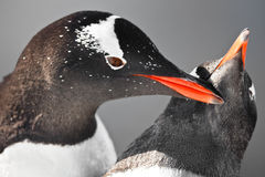 Two penguins  in Antarctica Royalty Free Stock Photo