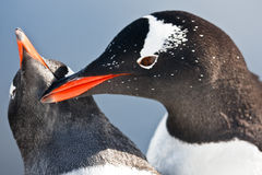 Two penguins  in Antarctica Royalty Free Stock Image