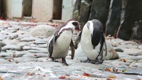 Two penguins clean feathers. Close up stock video footage