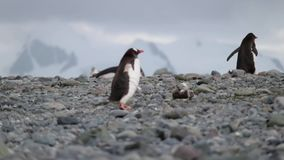 Two penguins climb up the pebbles. Andreev. Two penguins climb up the pebbles. Penguins stand in the background. The background is blurred. Antarctica stock video footage